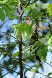 (Phaenicophaeus javanicus) Red-billed Malkoha
