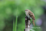 (Cacomantis merulinus) Plaintive Cuckoo - Hepatic Morph Female