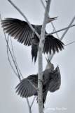 (Muelleripicus pulverulentus)Great Slaty Woodpecker ♂♀