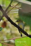 (Zosterops everetti) Everett's White-eye