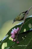 (Hypogramma hypogrammicum) Purple-naped Sunbird ♀