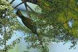 (Anthreptes simplex) Plain Sunbird ♂