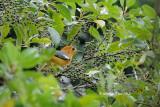 (Zoothera citrina aurata)   Orange-headed Thrush ♂