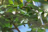 (Chloropsis sonnerati) Greater Green Leafbird ♀
