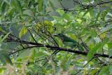Megalaima monticola   Mountain Barbet