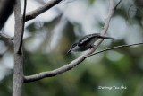 Hemipus picatus Bar-winged Flycatcher-shrike ♂