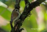 (Rhinimyias gularis) *Eyebrowed Jungle Flycatcher