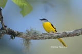 (Pericrocotus solaris)Grey-chinned Minivet ♀