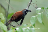 (Stachyris nigricollis) Black-throated Babbler