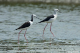 (Himantopus leucocephalus) Black-necked Stilt