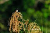 (Hirunda rustica gutturalis) Barn Swallow