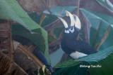 (Anthracoceros albirostris convexus) Oriental Pied Hornbill ♂