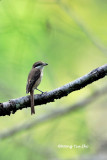Shrikes and Wood-swallow