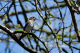 (Muscicapa griseisticta)Grey-streaked Flycatcher
