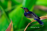 (Anthreotes malacensis) Brown-throated Sunbird ♂