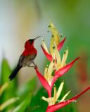 (Aethopyga siparaja) Eastern Crimson Sunbird ♂