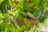 (Anthreotes malacensis) Brown-throated Sunbird ♀