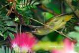 (Arachnothera chrysogenys harrissoni) Yellow-eared Spiderhunter