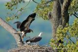 White Bellied Sea Eagle Nest