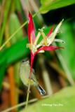 (Aethopyga siparaja) Eastern Crimson Sunbird ♀