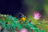 (Nectarinia jugularis ornata) Olive-backed Sunbird ♂