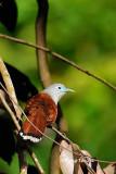 (Phaenicophaeus chlorophaeus) Raffle's Malkoha ♀