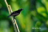 (Nectarinia sperata) Purple-throated Sunbird ♂