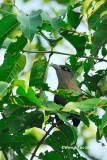(Phaenicophaeus diardi) Black Bellied Malkoha