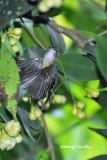 (Nectarinia calcostetha) Copper-throated Sunbird ♀