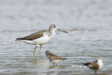 (Tringa nebularia) Common Greenshank