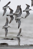 (Calidris tenuirostris)Great Knot