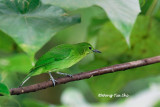 (Chloropsis cyanopogon) Lesser Green Leafbird ♀