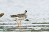 (Tringa totanus) Common Redshank