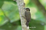 (Meiglyptes tukki tukki)Buff-necked Woodpecker ♂