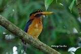 (Actenoides concretus) Chestnut-collared Kingfisher ♂
