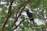 (Anthracoceros malayanus deminutus) Asian Black Hornbill  ♀