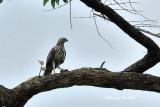 (Spizaetus cirrhatus)Changeable Hawk-eagle - Pale Morph