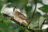 (Pycnonotus simplex) Cream-vented Bulubl