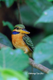 (Actenoides concretus) Chestnut-collared Kingfisher ♀