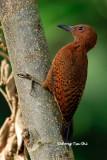 (Celeus brachyurus badiosus)Rufous Woodpecker ♂