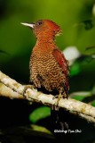 (Picus miniaceus)Banded Woodpecker ♀