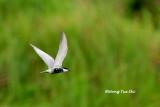 (Chlidonias hybridus) Whiskered Tern