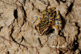 (Rana picturata) Spotted Stream Frog