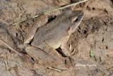 (Limnonectes leporinus)Giant River Frog
