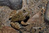 (Limnonectes kuhlii) Kuhl's Creek Frog