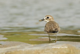 (Charadrius leschenaultii) Greater Sand Plover