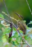 (Arachnothera flavigaster) Spectacled Spiderhunter