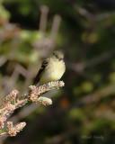 Yellow-bellied Flycatcher0269.jpg