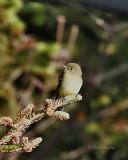 Yellow-bellied Flycatcher-2.jpg