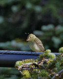 Yellow-bellied Flycatcher-4.jpg
